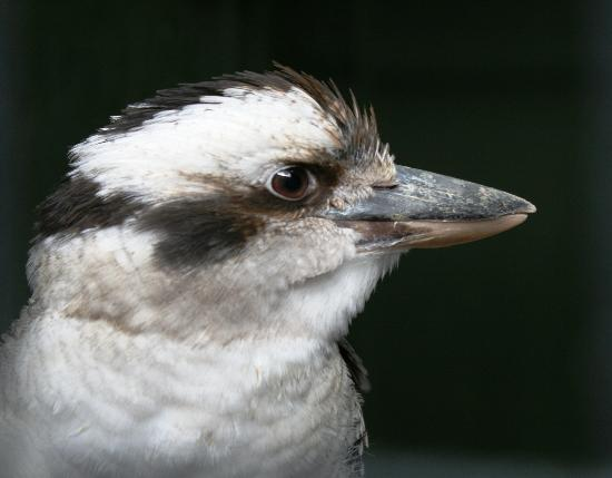 Northwich, UK: Kookaburra  I think thats how you spell it
