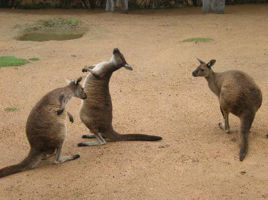 Canberra, Australien: Up close with kangaroos