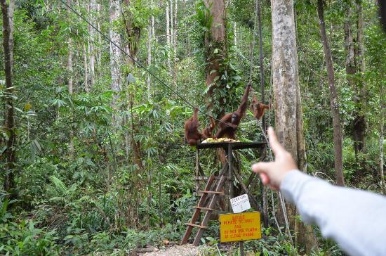 Semenggoh Nature Reserve: Orang Utan just a meter away from us