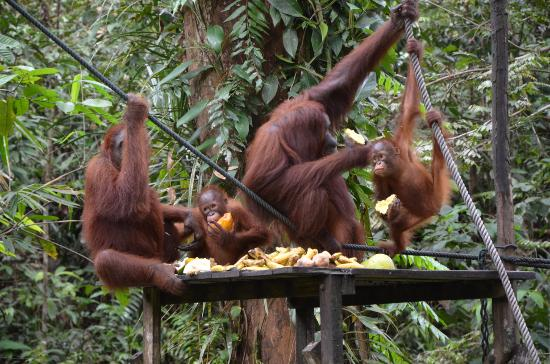 Semenggoh Nature Reserve: Orang Utan's family