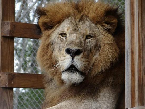 Catty Shack Ranch Wildlife Sanctuary: Tal - a resident lion