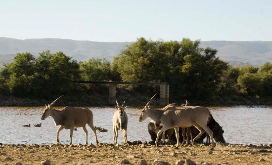 Inverdoorn Game Reserve: Springbok