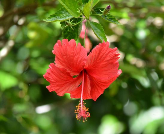 Somerset Apartments: Hibiscus flower - Beautiful Gardens