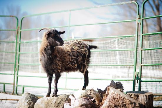 Royalsborough Inn at Bagley House: Cashmere goat likes to cilmb