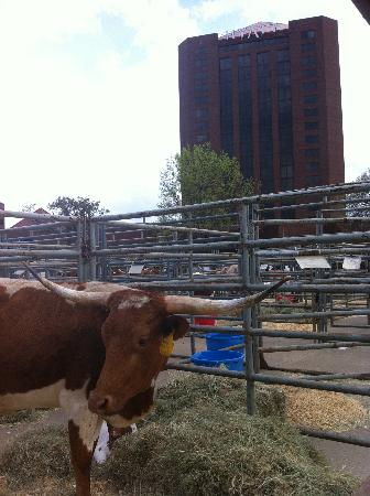 Hyatt Regency North Dallas/Richardson: Longhorn Festival at the Hyatt - This is TX!