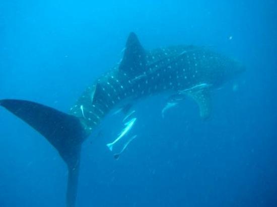 Nosy Be, Madagascar: requin baleine rare en cette saison !