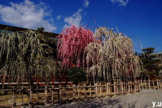 Yuki Shrine: ピンクにシロ滝のように枝垂れています。
