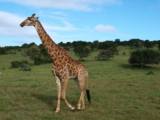 Schotia Safaris Private Game Reserve: Beautiful Giraffes