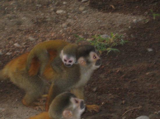 Tee Times Costa Rica Golf Tours: Spider Monkeys at Manuel Antonio