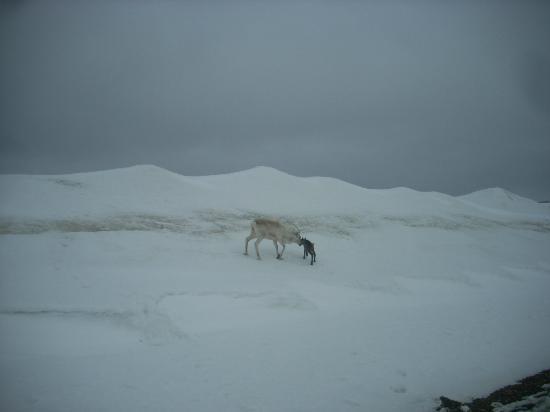 Nordkapp Camping: una renna col suo piccolo, a pochi metri dal camping