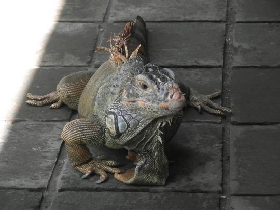 Bali, Indonesia: iguane