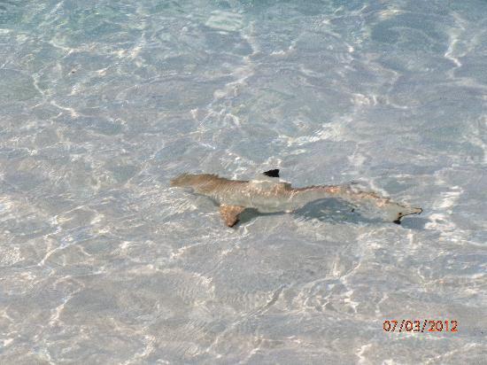Embudu Village: petit requin à pointe noire en bordure de plage