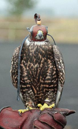Phoenix Falconry: Falcon all hooded up