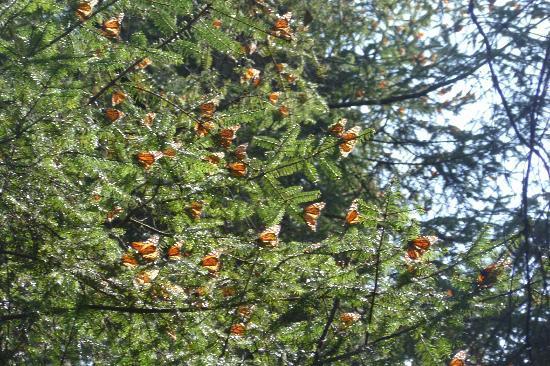 Piedra Herrada Sanctuary: Monarchs sunning themselves