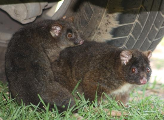 RAC Busselton Holiday Park: Mum and baby friendly possums at Peppermint Park