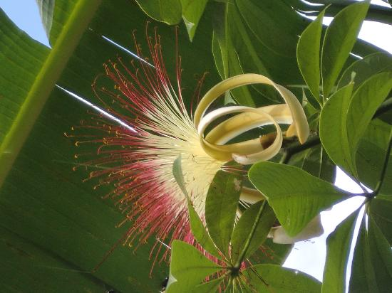 La Mariposa Spanish School and Eco Hotel: Flower of the ceiba tree - we have planted several in our grounds