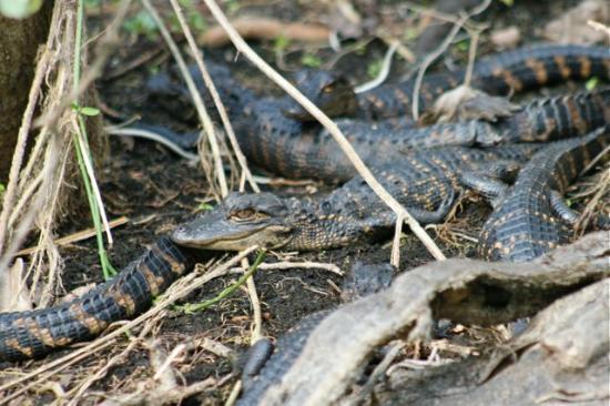 Everglades Area Tours: baby alligators