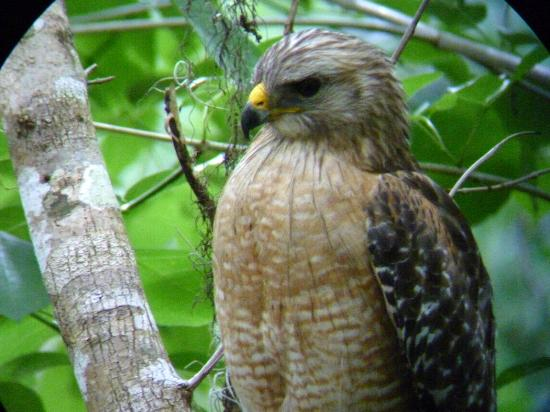 Corkscrew Swamp Sanctuary : Red-shouldered hawk near boardwalk