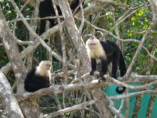 Playa Manuel Antonio: Abundance of monkeys at the far end of the beach