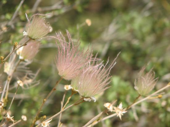 Chihuahuan Desert Nature Center & Botanical Garden: Apache Plume in the Botanical Gardens