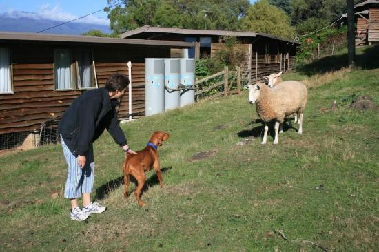 Mole Creek Cabins: Lenny the friendly sheep