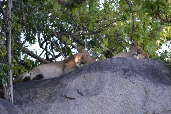 Lamai Serengeti, Nomad Tanzania: Lions taking a late morning nap