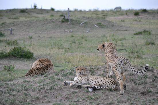 Lamai Serengeti, Nomad Tanzania: Cheetah siblings in the late afternoon