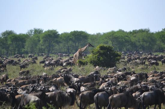 Lamai Serengeti, Nomad Tanzania: Massive concentration of game in the Northern Serengeti!
