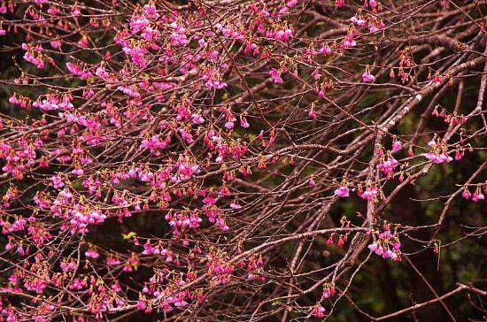 Mt. Yaedake: Sakura Blossoms
