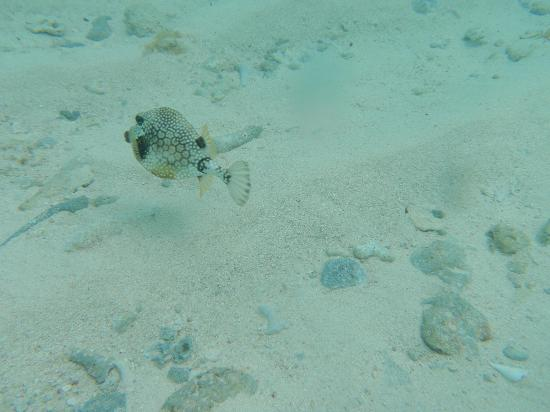 Paradise Island & The Mangroves (Cayo Arena): puffer fish