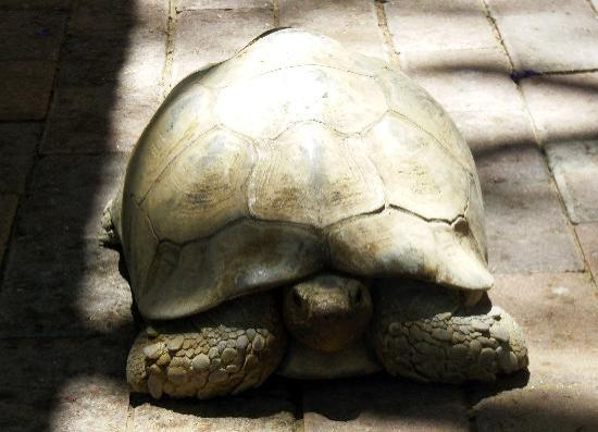 Roof of Africa Hotel: Tortoises roam free on the grounds