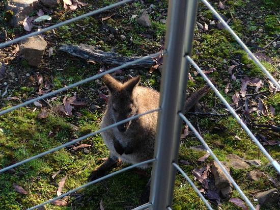 Cradle Mountain Hotel: wallabies in front of our balcony