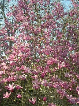 Spahn House: Tulip Tree at peak!