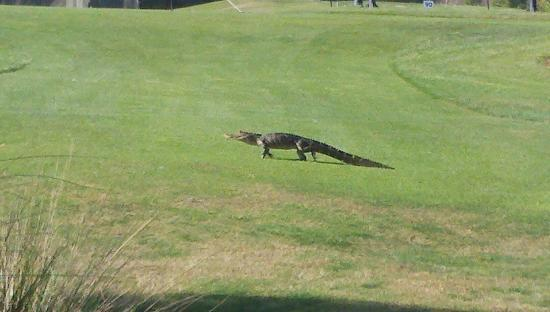 Holiday Inn Club Vacations Orlando - Orange Lake Resort: A visitor on the golf course