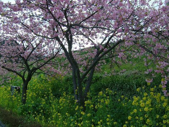 Kawazuhama Onsen: 桜も菜の花も満開です