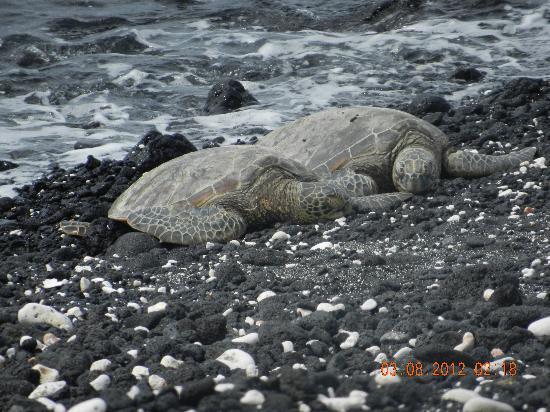 Fairmont Orchid, Hawaii: Sea Turtles at resort