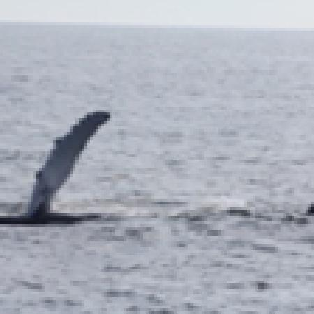 Cape May Whale Watch & Research Center : Humpback's Pec Slap