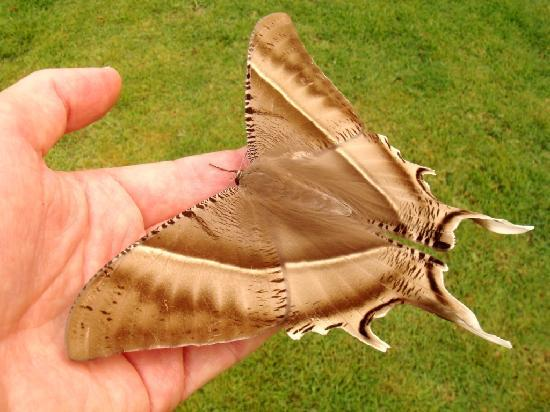 Manee Dheva Resort & Spa: A butterfly as large as a bird