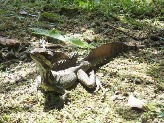 Esquinas Rainforest Lodge: Basilisk Lizard