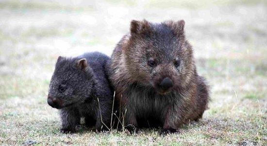 Narawntapu National Park: Wombats