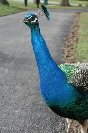 Tours of the Realm: Peacocks roaming around Leeds Castle
