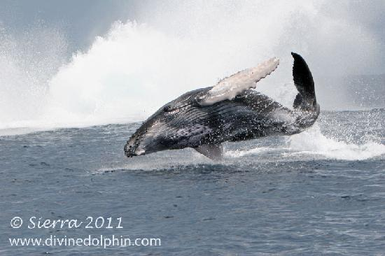 Drake Bay, Costa Rica: We have the longest season of Humpback Whales in the world!