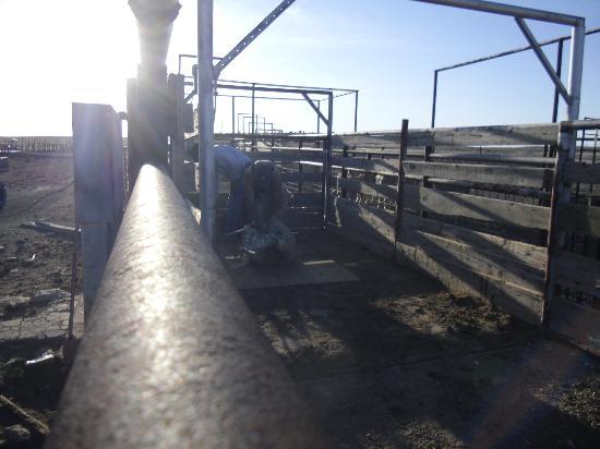 Burnt Well Guest Ranch: Kevin, globe-trotting international sheep shearer!
