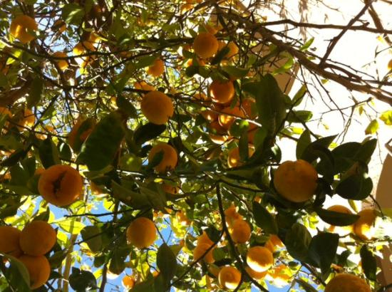 Embassy Suites by Hilton Hotel Phoenix - Tempe: Lemon trees outside my suite!