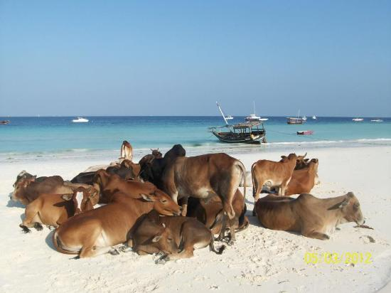 The Z Hotel Zanzibar: Cows on the beach