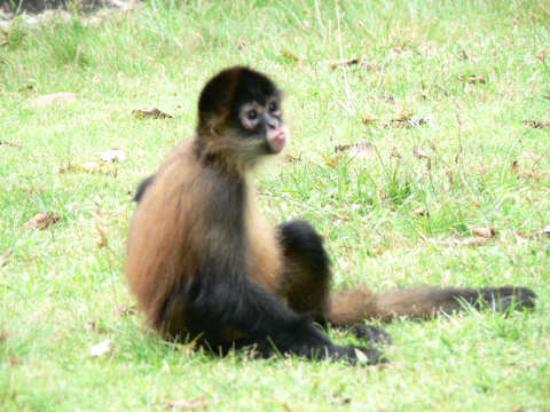 Beyond Adventure Tours: Chita, the spider monkey at the Hot springs