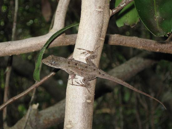 Gumbo Limbo Trail: Anole