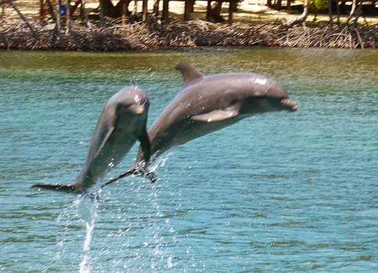 Roatan Institute for Marine Sciences - Anthony's Key Resort: AKR Dolphin Show