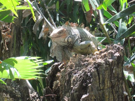 Iguana Lodge : Iguana