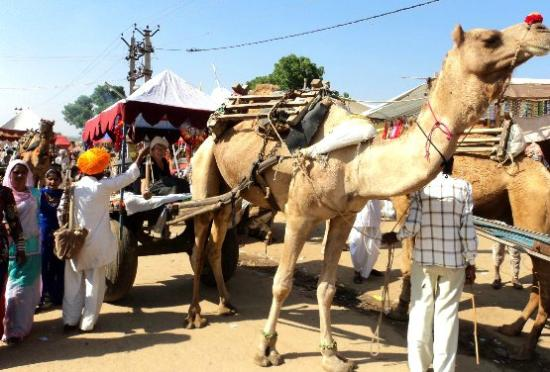 Pushkar Camel Safari: camel fair